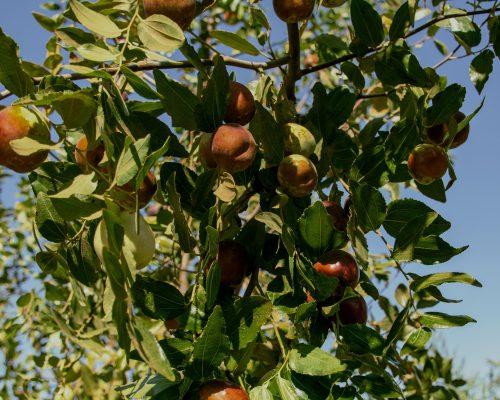 Li jujube tree with fruit
